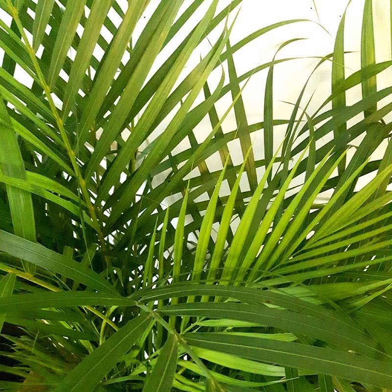 plante d'intérieur areca