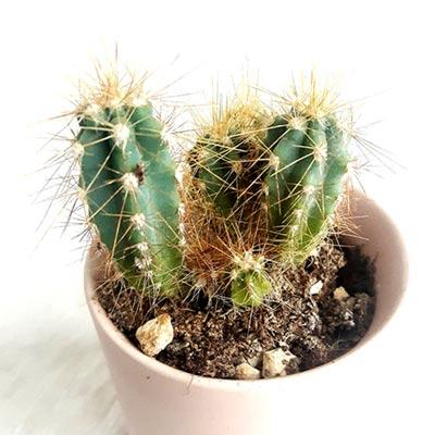 plantes d'interieur cactus tendance