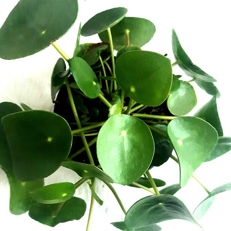 plante d'interieur pilea