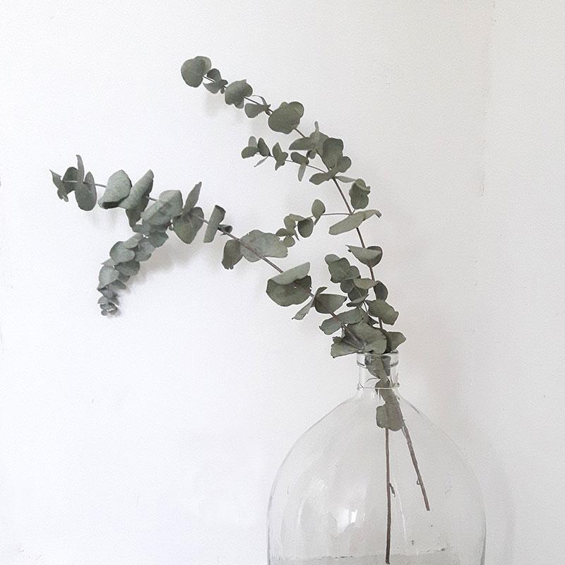 eucalyptus séché