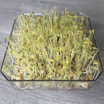 graines germees radis noir