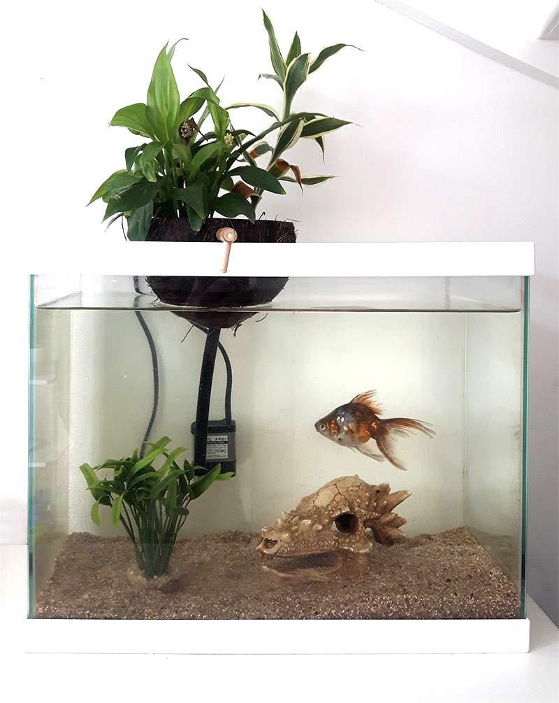 aquaponie dans un aquarium