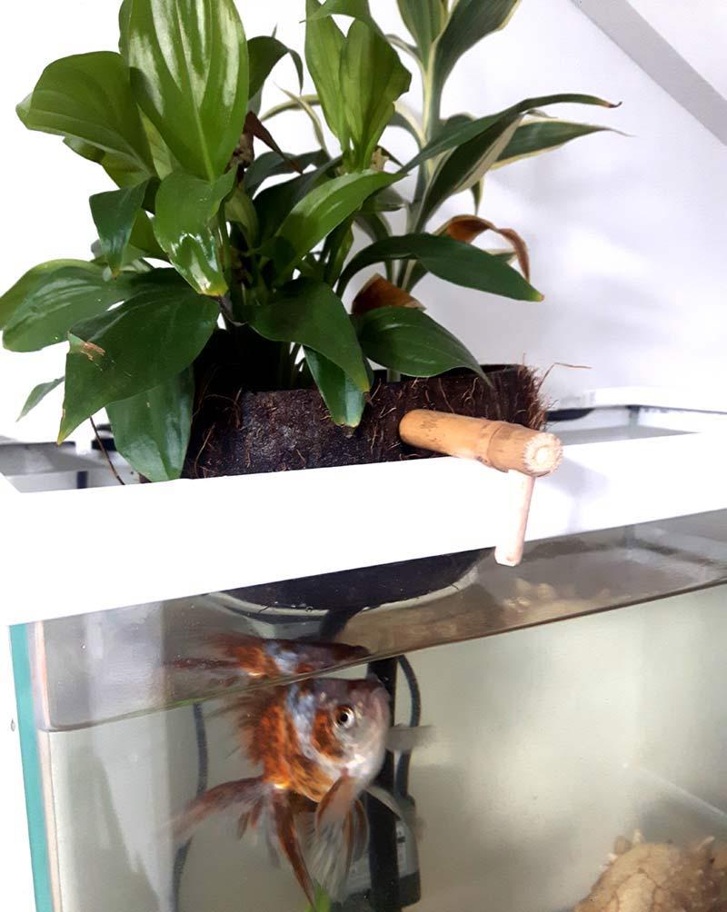 plantes en aquaponie