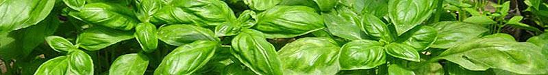 basilic bienfaits des plantes aromatiques