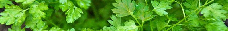 cerfeuil bienfaits des plantes aromatiques