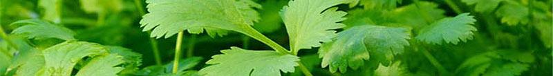 coriandre bienfaits des plantes aromatiques