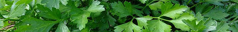 bienfaits des plantes aromatiques persil