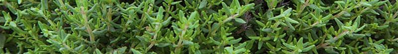 thym bienfaits des plantes aromatiques